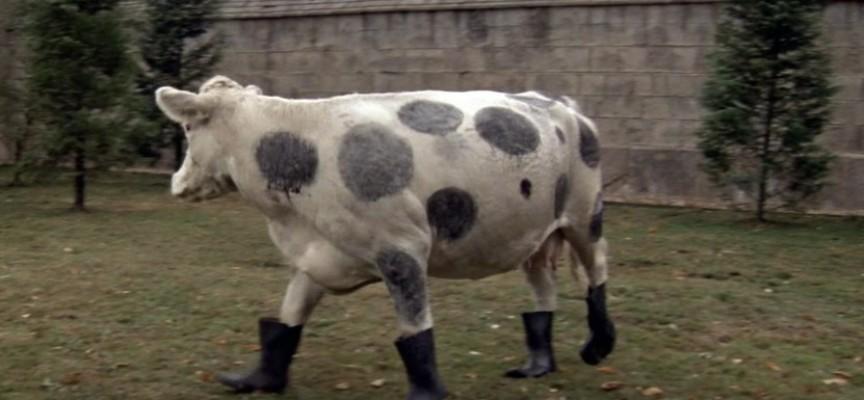 """Roban dos vacas y les ponen """"botas"""" para no dejar huellas"""