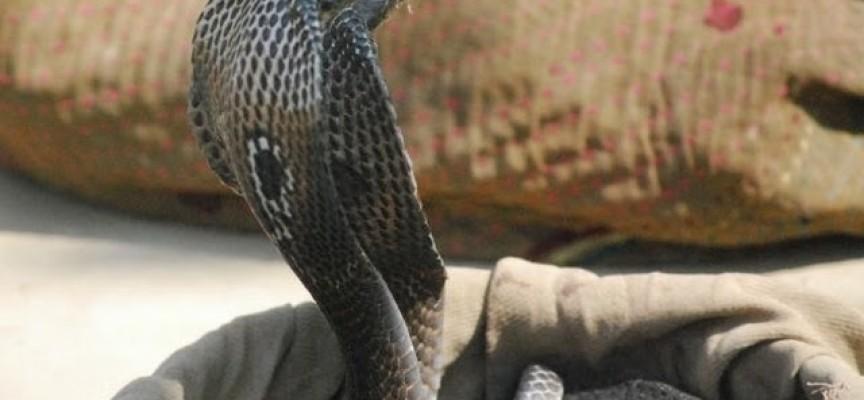 Chef muere por manipular cobra que habia matado 20 minutos antes