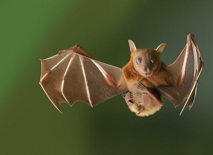 La actual epidemia de ébola, causada por un solo murciélago