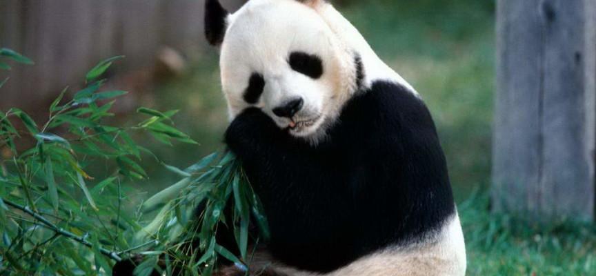 Panda fingió embarazo para recibir más fruta y bambú