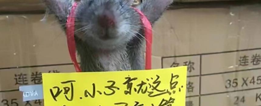 Insolito. Torturan a una rata por robar arroz