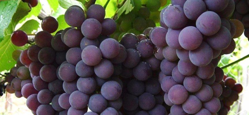 La bendición de las uvas de Israel anuncia la llegada del Mesias
