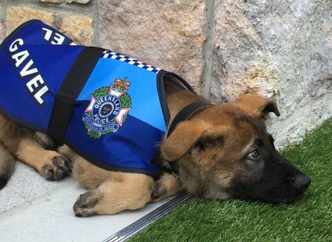 """El cachorro que fue """"expulsado"""" de la policía por ser demasiado dócil y ahora triunfa en otro puesto"""